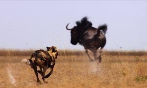A Caçada: mãe zelosa enfrenta bichos dez vezes maiores que ela por filhotes