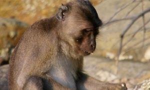 Macacos-caranguejeiros comem um banquete de frutos do mar
