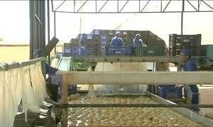 Colheita de frutas no Ceará abre milhares de oportunidades no campo