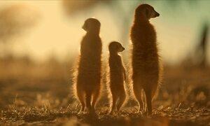 Minha Família é o Bicho - suricatos