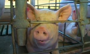 Produção de carne suína cresce em 2016