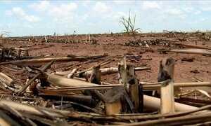 Estiagem prolongada provoca perdas em lavouras de cana de AL