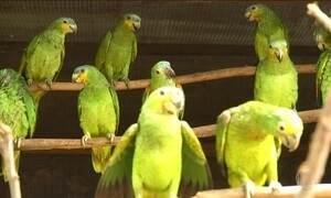 Operação devolve à natureza papagaios capturados no Tocantins