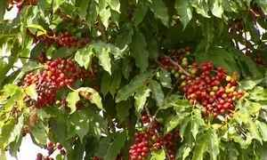 Cultura de café terá safra baixa este ano