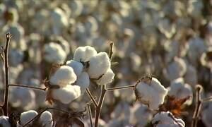 Agricultores do Mato Grosso comemoram safra do algodão