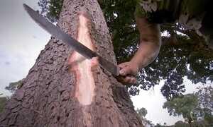 Casca do Ipê é o primeiro remédio vegetal contra picada de cobra