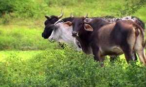 Tradicional feira de gado de Caruaru (PE) está em crise