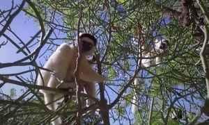 Lêmures, símbolo de Madagascar, correm risco de extinção