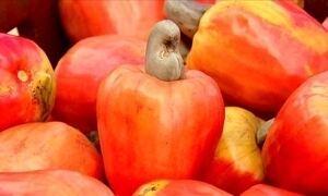 Clima ajuda e produtores colhem boa safra de caju no Ceará