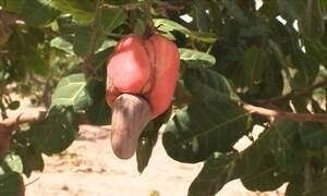 Plantações de caju não resistem à seca no Piauí