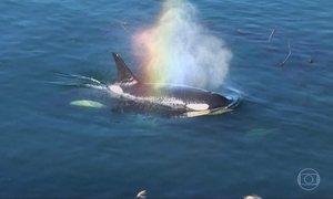 Arquipélago em Washington é considerado refúgio das orcas