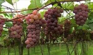 Clima ajuda e a colheita de frutas em Jundiaí (SP) é antecipada