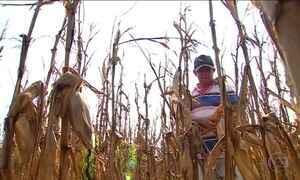 Agricultores de Sergipe colhem a maior safra de milho dos últimos anos