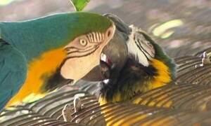 Araras no zoológico do Rio vivem amor proibido há mais de 15 anos
