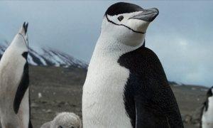 Pinguins-de-barbicha ensinam a viver em um vulcão ativo perto da Antártica