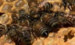 Colmeias dobram produção de mel com abelhas rainhas criadas em laboratórios