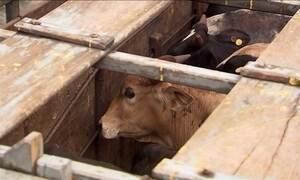 Governo admite rever regras para exportação de animais vivos