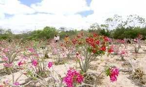 Chapada Diamantina é o recanto da rara rosa do deserto