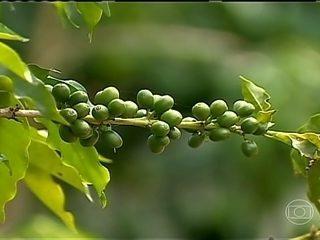 Colheita de café em Muriaé e região