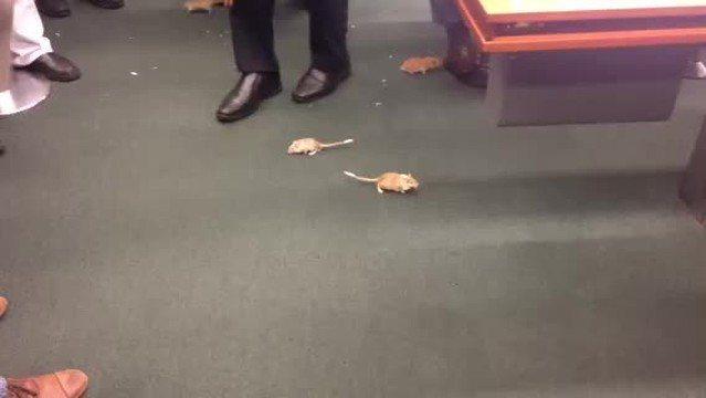 POLÍTICA – Homem solta ratos no plenário da CPI durante depoimento de Vaccari Animais geraram gritos e tumulto na reunião da CPI da Petrobras. Seguranças recolheram os roedores e conduziram o homem para depor
