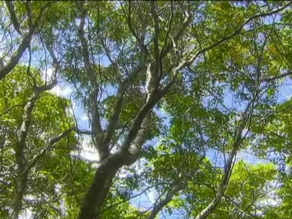 Arvores brasileiras lorenzi