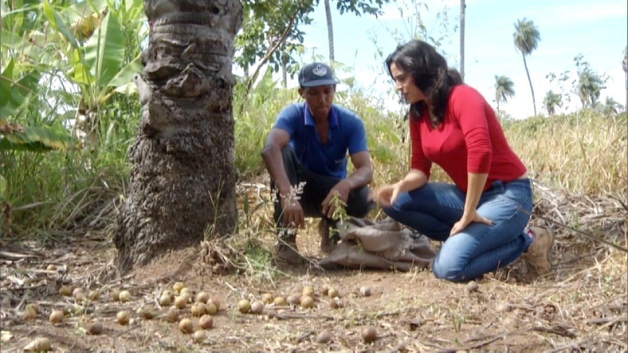 Resultado de imagem para Produtores Criam Cooperativa Sustentável Para Extrair Coco De Macaúba