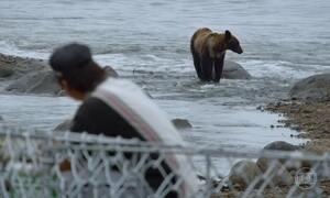 Ursos pardos convivem tranquilamente com pescadores de salmão