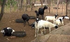 Saiba quais as causas do problema de retenção de crias em ovelhas