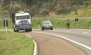 Animais nas pistas causam 8 acidentes por dia nas rodovias federais