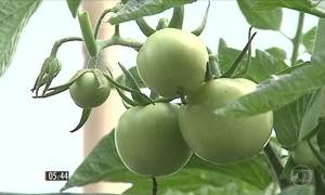 Excesso de tomate causa queda no preço do fruto