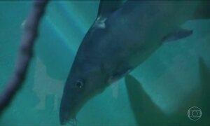 Mais da metade das espécies nativas de peixes sumiram do Rio São Francisco