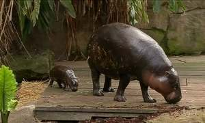 Filhote de hipopótamo pigmeu é apresentado em zoológico da Austrália