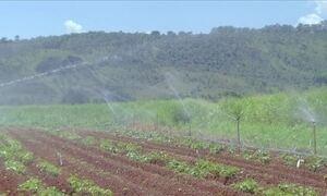 Agrônoma explica como fazer plantação irrigada de batata-doce