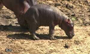 """Nasce o 1º """"hipopótamo do Nilo"""" em cativeiro no NE"""