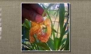 Orquídea bolsa de pastor ocorre em regiões do NE e SE do Brasil