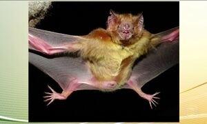 Ataques frequentes de morcegos assustam a população em Salvador, BA