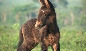 Fenômeno raro faz mula parir um lindo burrinho