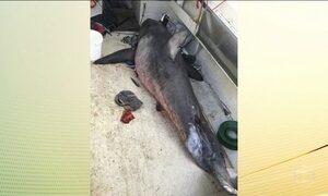 Tubarão de 200 kg pula no barco e corta o braço de um pescador australiano
