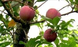 Por que os frutos da ameixa não se desenvolvem e caem do pé?