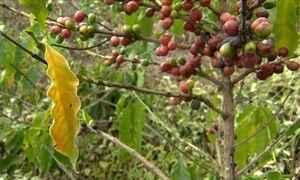 Folhas secas do café podem indicar problema no solo