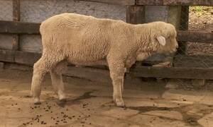 Saiba como tratar frieiras em ovelhas