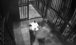 Panda nasce em zoológico de Tóquio