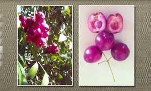 Jambo-rosa é ideal para ser usado na ornamentação