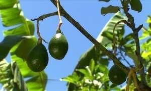 Cultivo de abacate em escala comercial exige plantação de mais de uma variedade