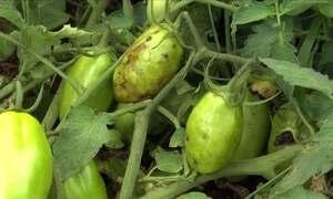 Conheça a doença que deixa os frutos do cultivo do tomate manchados
