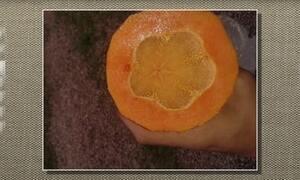 Mamão sem sementes pode ter causa genética ou de desequilíbrio nutricional