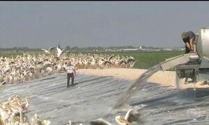 Milhares de pelicanos são alimentados em Israel durante viagem migratória para a África
