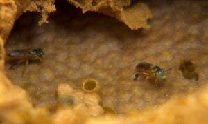 Especialista explica as principais características da abelha jataí