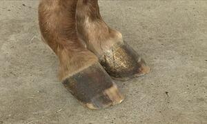 Especialista fala sobre cuidados necessários para tratar cavalo que teve laminite