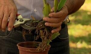 Replantio é indicado para orquídeas sem flores, com folhas murchas e talos pretos